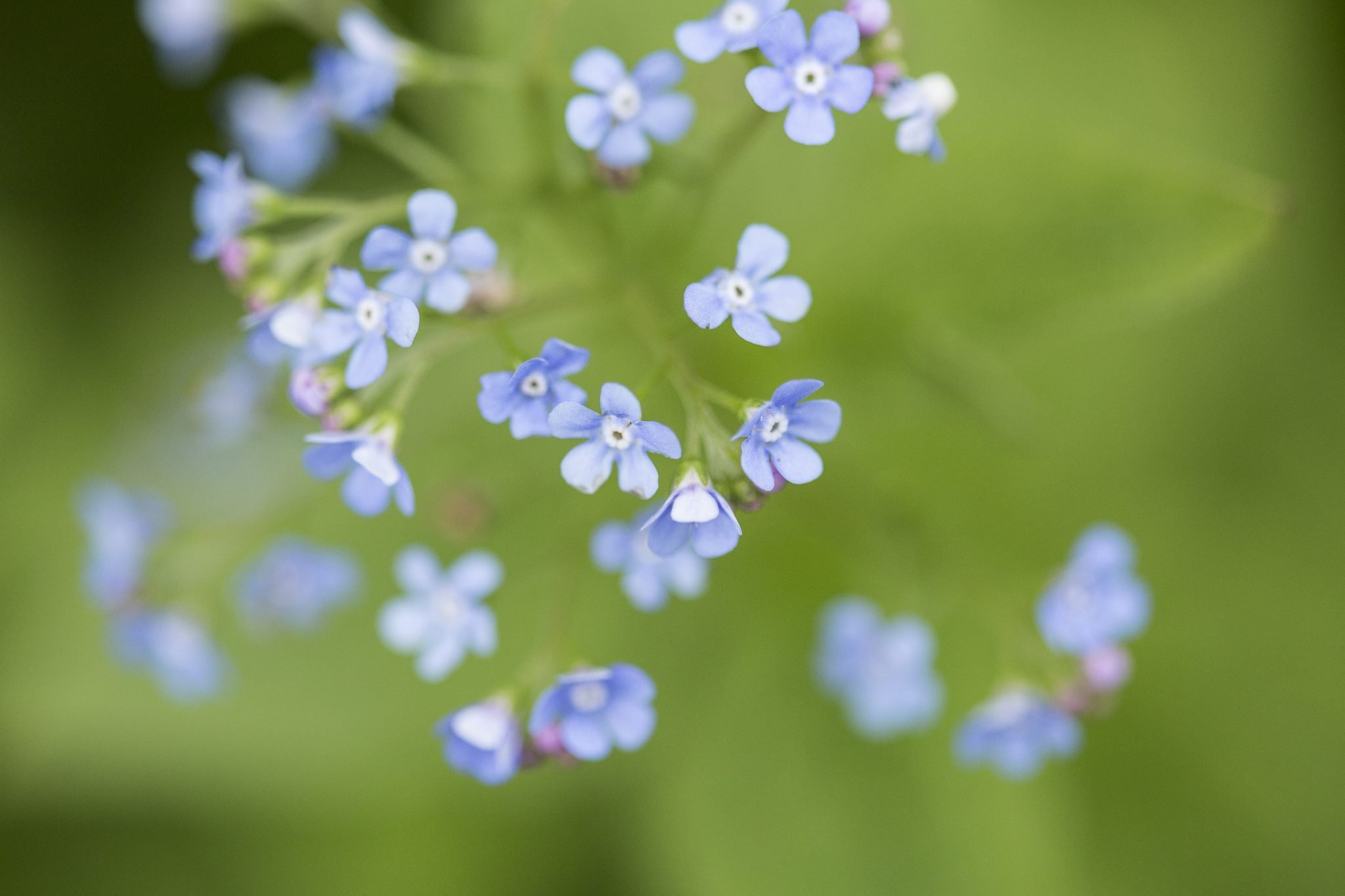 macro photography, tiny blue flowers, perennial flower, Spencerport, NY